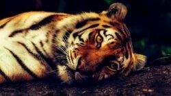 BKSDA Sumbar Bongkar Perdagangan Tulang Harimau Sumatra